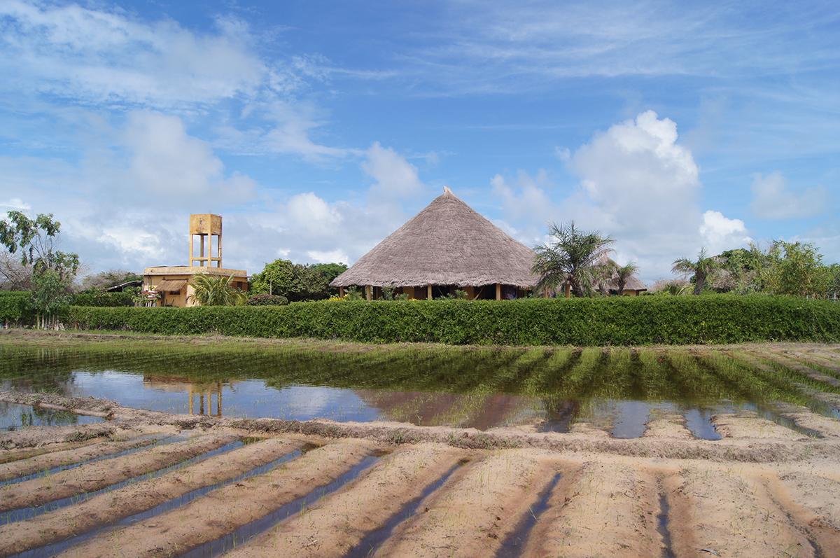 Le kibalaou vu des rizières