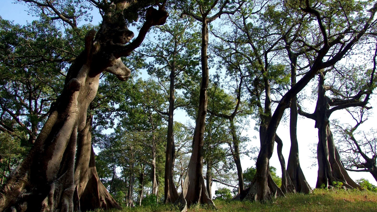 Forêt de Baobab